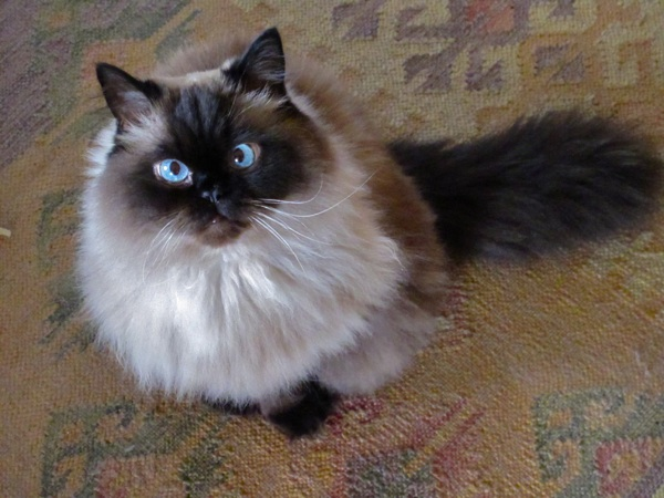 hairball remedy for cats olive oil
