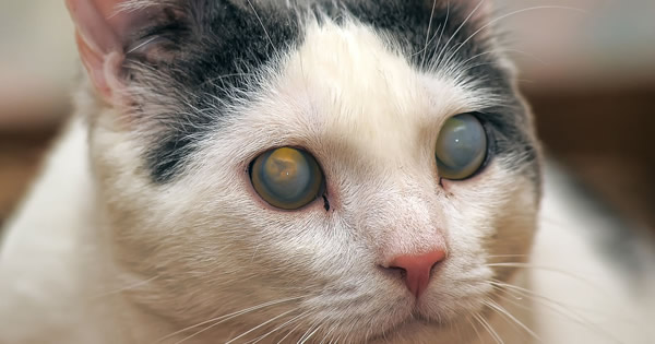 Eye Problems In Diabetic Cats 15 October 2015 Pet Blog