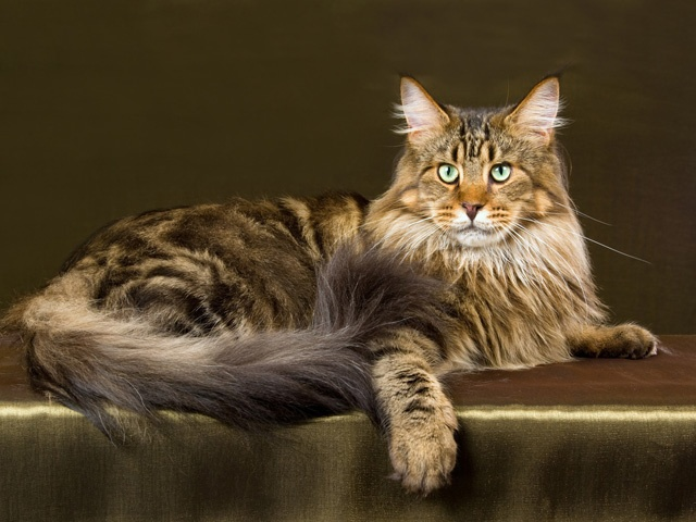 How Long Are Maine Coon Cats Pregnant 28 November 2015 Pet