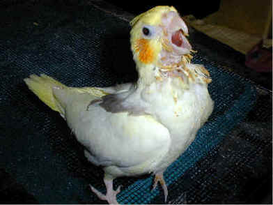 White Bird Mites Do Cockatiels C...