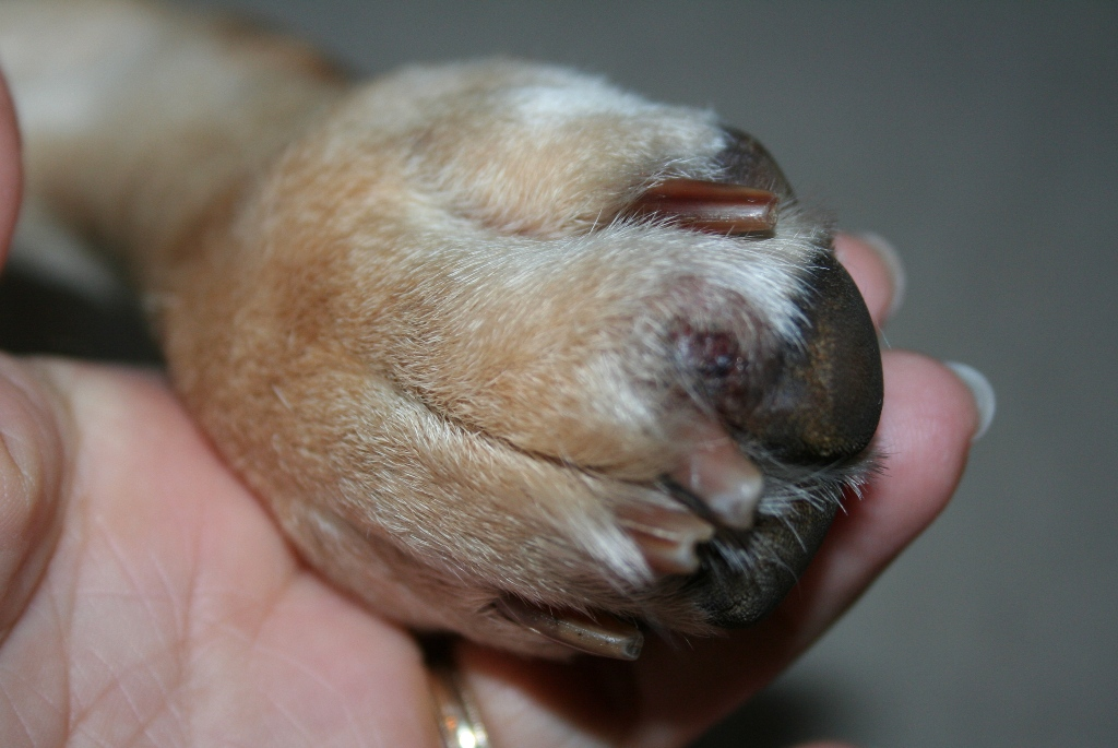 My Dog S Eye And Paws Are Swollen