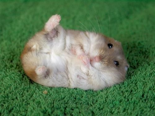 Caring For Your Hamster S Feet 16 April 2016 Pet Blog Veterinary Tips