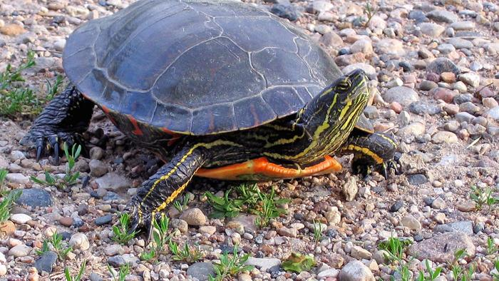Can Painted Turtles Live On Land