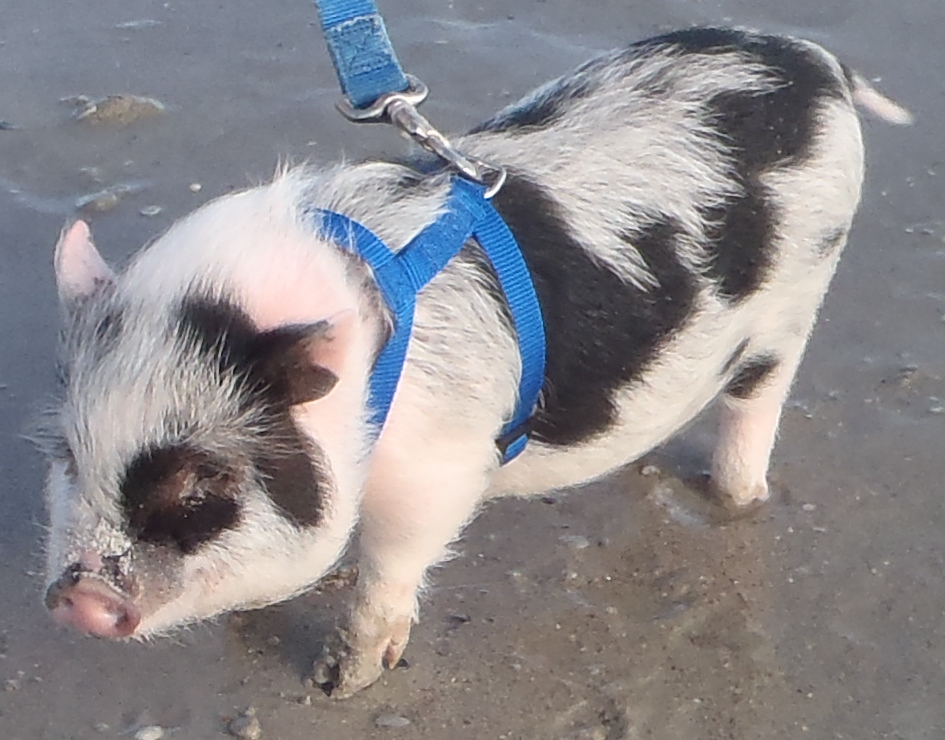 Gallery For > Full Grown Miniature Pot Belly Pigs