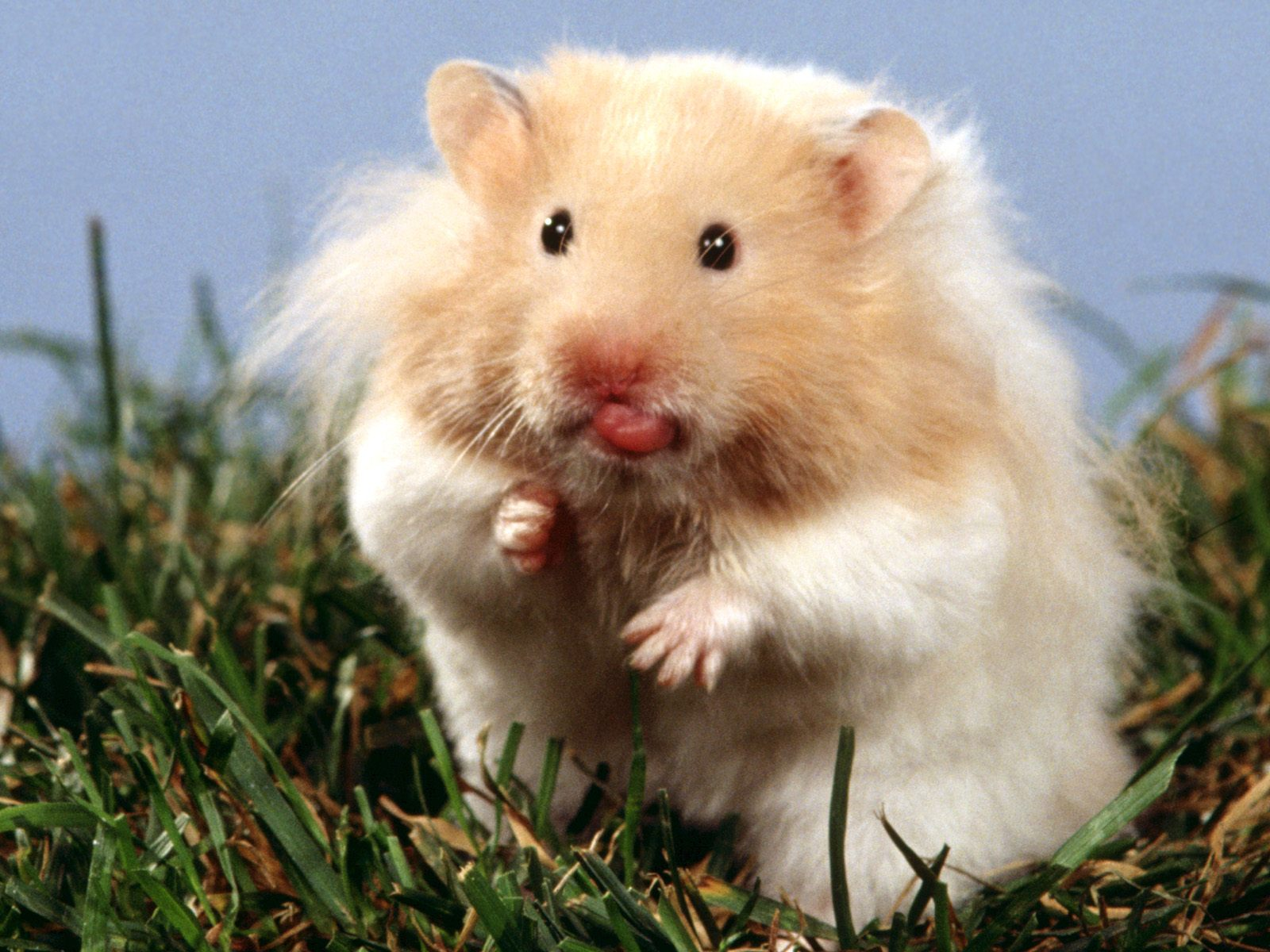 What Is a Teddy Bear Hamster? - 22 April 2015 - Pet Blog - Veterinary ...